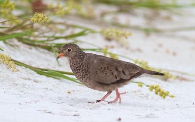 Common Ground Dove Estero Beach Lagoon Ft  Myers Beach FL IMG_3815 CR2