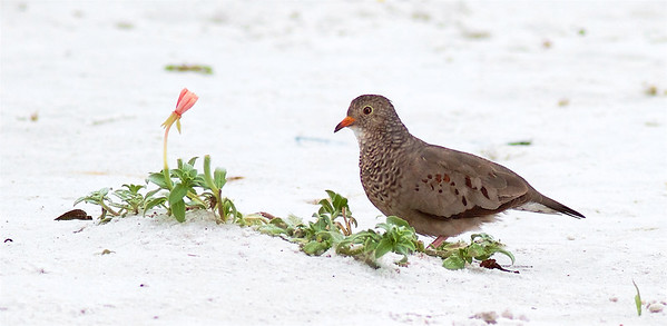Common Ground Dove Estero Beach Lagoon Ft  Myers Beach FL IMG_3807 CR2 (1)