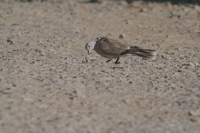 Eurasian Collared Doves are expanding their range north [June; Martin County, Minnesota]