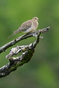 Mourning Dove [April; Sick Dog Ranch near Alice, Texas]