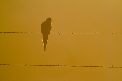 Mourning Doves have a very distinctive silhouette [April; Sick Dog Ranch near Alice, Texas]