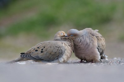 Mated pair of Mourning Doves showing affection [May; Park Point Duluth, Minnesota]