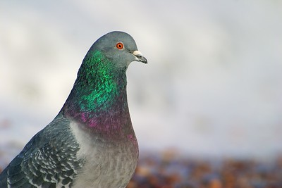 Though often scorned, Rock Pigeons are actually beautiful birds [January; Duluth, Minnesota]v