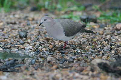 The White-tipped Dove is a South Texas specialty [February; Laguna Atascosa NWR, Texas]