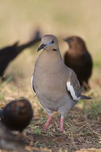 White-winged Dove are increasing across the continent [April; Sick Dog Ranch near Alice, Texas]