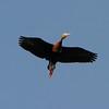 Black-bellied Whistling Duck in the backyard of Allen Williams [April; Pharr, Texas]Rio Grande Valley, Lower Rio Grande Valley, Texas bird