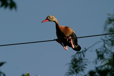 Black-bellied Whistling Duck in the backyard of Allen Williams [April; Pharr, Texas]Rio Grande Valley, Lower Rio Grande Valley, Texas bird