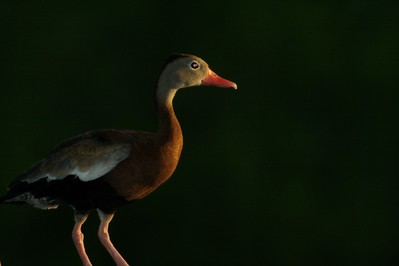 Black-bellied Whistling Duck [April; Sick Dog Ranch near Alice, Texas]
