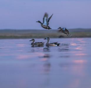 Blue-winged Teal Chase Lake NWR Stutsman County ND  IMGC9280