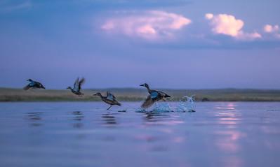 Blue-winged Teal Chase Lake NWR Stutsman County ND  IMGC9285