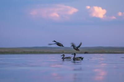 Blue-winged Teal Chase Lake NWR Stutsman County ND  IMGC9281