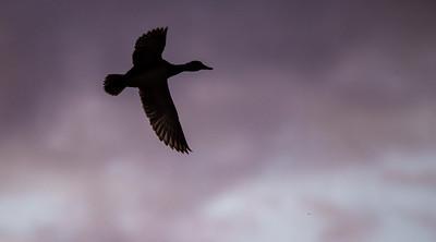 Blue-winged Teal Stutsman County ND  IMGC7444