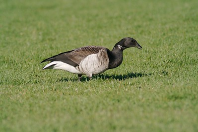 A rare appearance of a Brant in Minnesota [May; Bayfront Park Duluth, Minnesota]