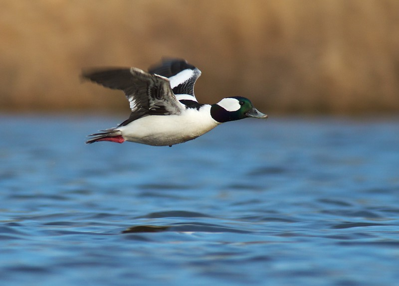 """Buffleheads are called """"butterballs"""" by hunters...A cute name for a cute bird [April; Tobin-Kimmes Wetlands, Douglas County, Wisconsin]"""