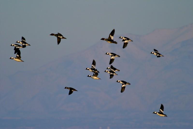 Buffleheads wing past a backdrop of the Wasatch Mountains [February; Antelope Island, Salt Lake City, Utah]