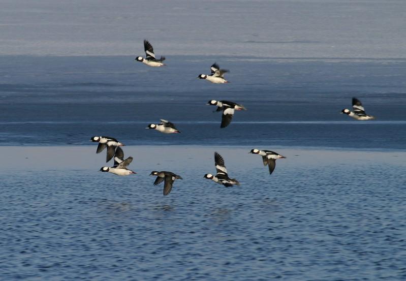 Buffleheads in flight [February; Antelope Island, Salt Lake City, Utah]