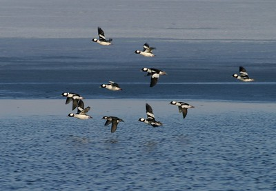 Buffleheads in flight [February; Antelope Island, Salt Lake City, Utah]