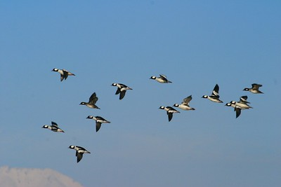 A flock of winter Buffleheads wings by [February; Antelope Island, Salt Lake City, Utah]