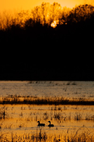 Canada Geese at Crex Meadows [October near Grantsburg, Wisconsin]w