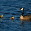 Newly hatched goslings stick close to mom Canada Goose [May; NW Minnesota]