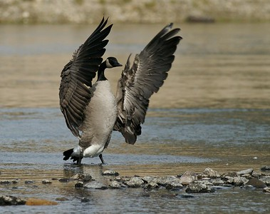 Canada Goose drying and rearranging its valuable wings [September; Yellowstone National Park, Wyoming]
