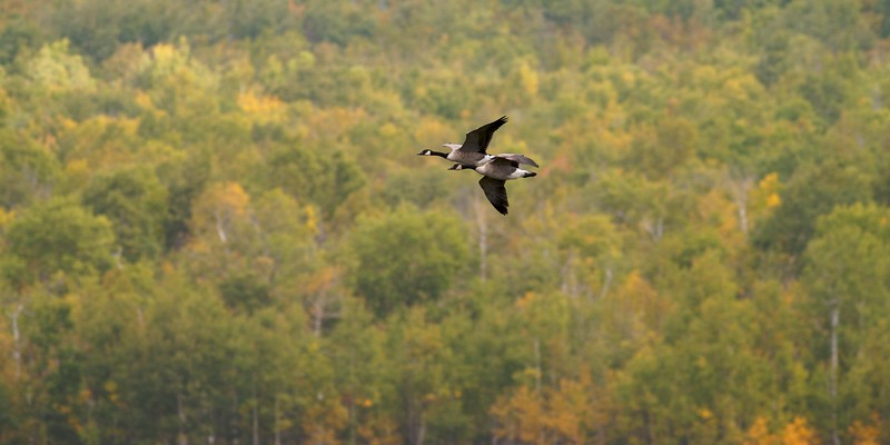 Canada Geese migrating over a northern Minnesota forest [September; Hawk Ridge, Duluth, Minnesota]