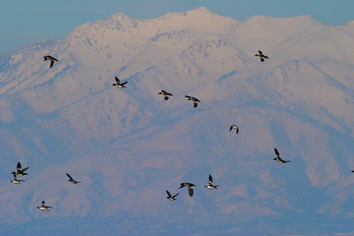 Common Goldeneyes and Buffleheads wing past a backdrop of the Wasatch Mountains [February; Antelope Island, Salt Lake City, Utah]