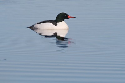 Common Merganser [April; Lake Superior Park Point, Duluth, Minnesota]