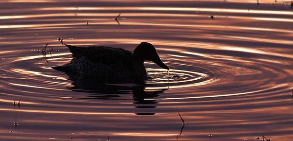 Duck in ripple ring_9243