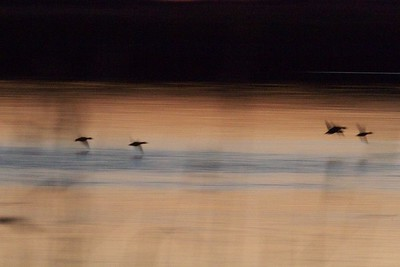 ducks flight motion blur Agassiz NWR MN IMG_6331