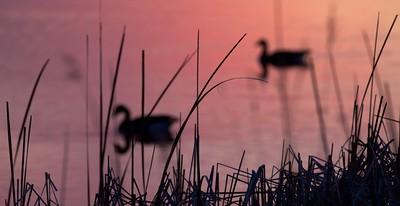 ducks silhouette pink Agassiz NWR MN IMG_6266