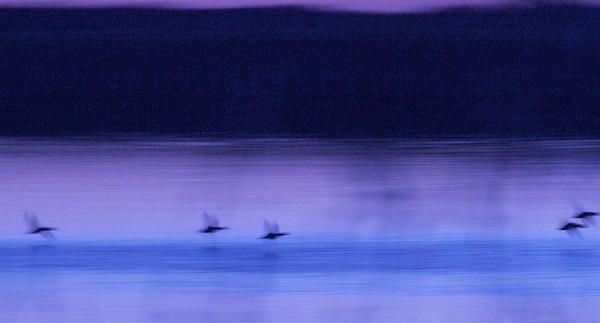 ducks flight motion blur Agassiz NWR MN IMG_6330