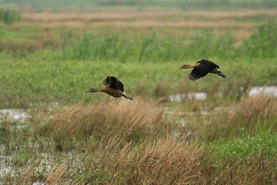 Fulvous Whistling Ducks are named for their rusty color [April; Anahuac National Wildlife Refuge, Texas]