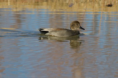 Look for the all black butt to identify a Gadwall (male) [December; Bosque del Apache National Wildlife Refuge, San Antonio, New Mexico]