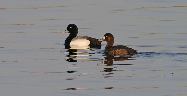 Greater Scaup have a more rounded head than Lesser Scaup [April; Park Point, Duluth, Minnesota]