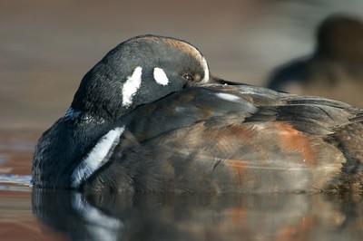 Harlequin Ducks are rare visitors to Lake Superior [January; Lake Superior, Duluth, Minnesota]Harlequin Ducks are rare visitors to Lake Superior [January; Lake Superior, Duluth, Minnesota]