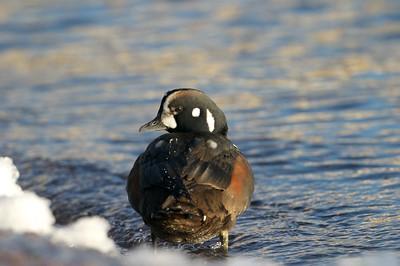 Harlequin Ducks are rare visitors to Lake Superior [January; Lake Superior, Duluth, Minnesota]
