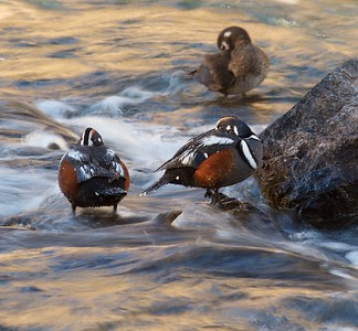 Harlequin Ducks preferred habitat is along fast moving streams, rivers and rapids. The feed in the fast water. [LeHardy Rapids, Yellowstone National Park, Wyoming]