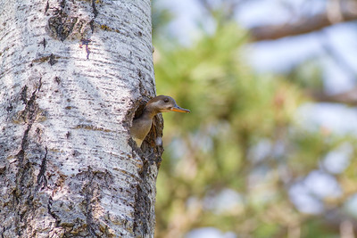 Hooded Merganser female nest old Pileated hole South Kawishiwi Campground Hwy 1 Ely MNIMG_0204