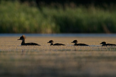 Hooded Merganser family [July; Tobin-Kimmes Wetlands, Douglas County, Wisconsin]