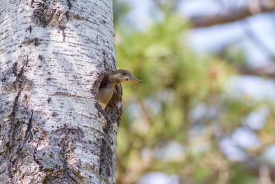 Hooded Merganser female nest old Pileated hole South Kawishiwi Campground Hwy 1 Ely MNIMG_0203