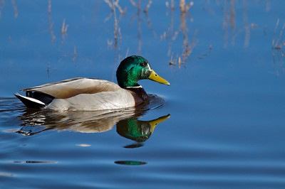 Mallard [December; Bosque del Apache National Wildlife Refuge, San Antonio, New Mexico]