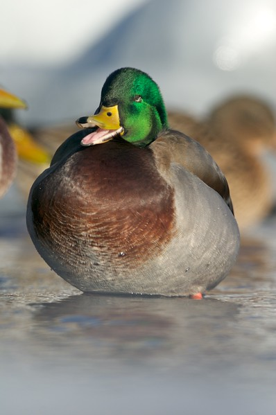 Drake Mallards are often taken for granted because they are so common, but they are gorgeous birds [January; Corner of the Lake, Lake Superior, Duluth, Minnesota]