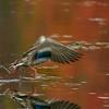 A drake Mallard takes off [September; Rock Pond, UMD, Duluth, Minnesota]