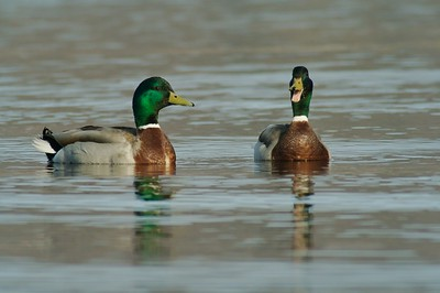 Pair of male Mallards [May; Park Point, Duluth, Minnesota]