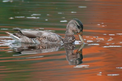 Mallard [September; Rock Pond, UMD, Duluth, MInnesota]