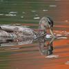 Mallard [September; Rock Pond, UMD, Duluth, MInnesota]