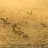 Mallards at minus 12 [December; Corner of the Lake, Lake Superior, Duluth, Minnesota]