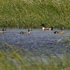 Prairie Potholes are incredible waterfowl production areas [June; Martin County, Minnesota]