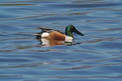 Northern Shoveler [March; Santa Barbara, California]